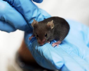 曾建立了多种转基因动物和基因定位修饰动物模型