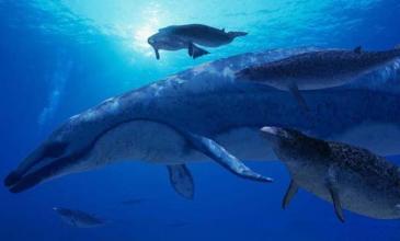 因为大型海洋动物处于食物链顶端